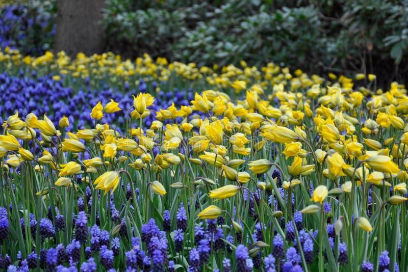 Lichtung mit gelben Narzissen und blauem Muscari zwischen ihnen lizenzfreies stockbild