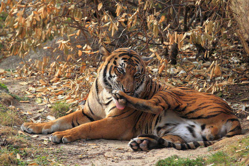 Licking indochinese tiger