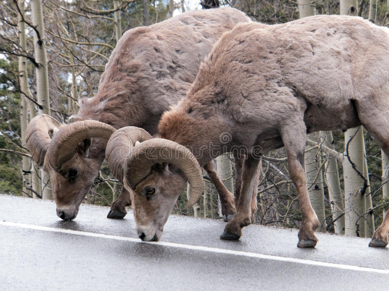 Licking Salt. Wild big horn sheep licking salt off the highway between Silverton and Ouray, Colorado, after a Spring snowstorm followed by salting of the road stock photos