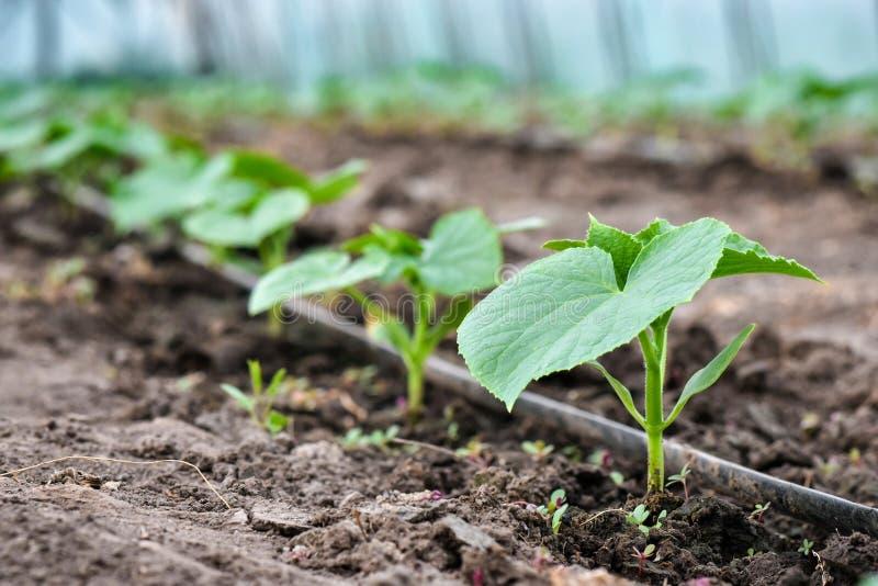 Liczba młode ogórek rośliny w szklarni z podlewaniem zdjęcie royalty free