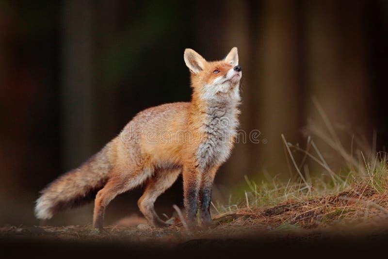 ?liczny Czerwony Fox, Vulpes vulpes w spadku lasowym Pi?knym zwierz?ciu w natury siedlisku Przyrody scena od dzikiej natury lis fotografia stock