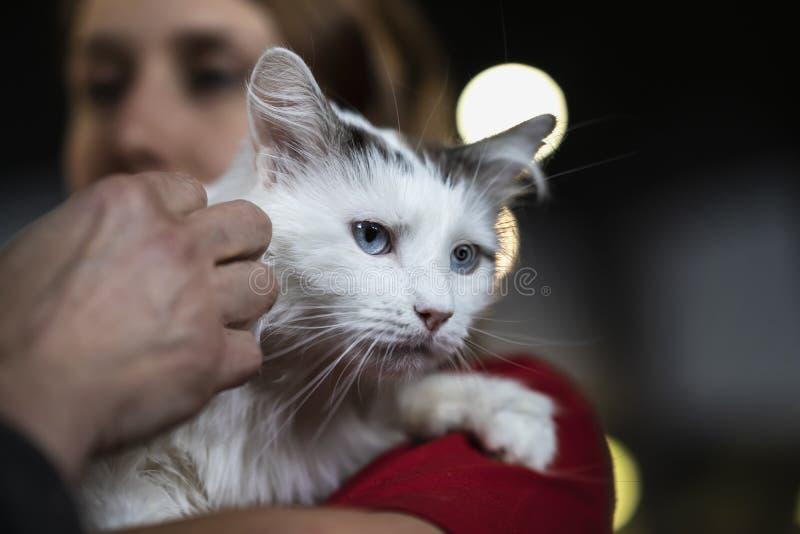 ?liczny strasz?cy kot z pi?knymi i inteligentnymi niebieskimi oczami w mi?ych r?kach dziewczyna wolontariusz czeka? na ich przysz obraz royalty free