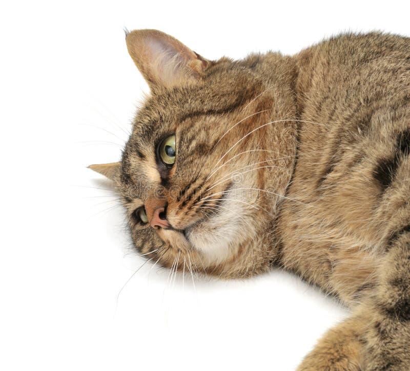 Download Lie cat stock photo. Image of lovable, purebred, feline - 12839432