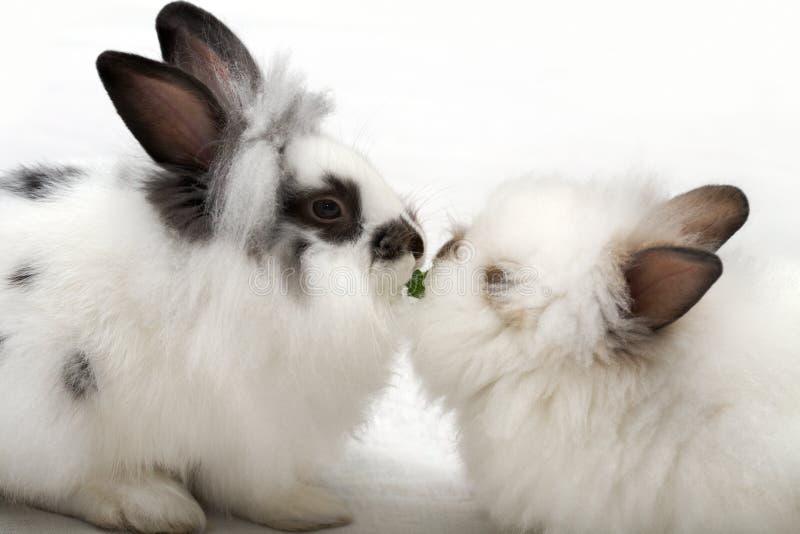 Liebe der Kaninchen stockbild