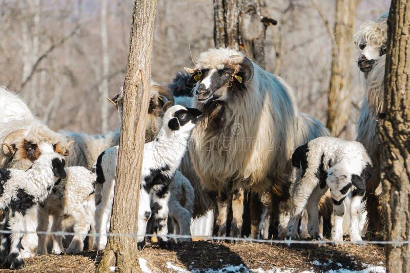 Liebe eines Lamms und seiner Mutter stockbilder