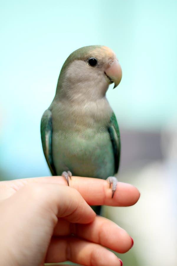 Liebes-Vogel auf Finger lizenzfreies stockbild