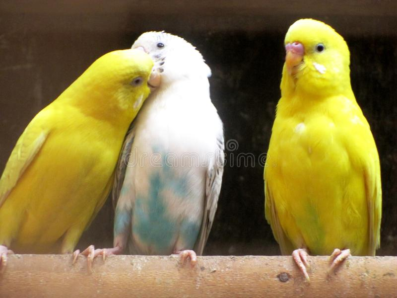 Liebes-Vogel-Dreiecksverhältnis stockbilder
