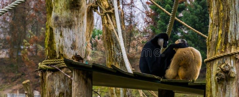 Liebespaare von Gibbonen, Mann, der die Frau, tropische Primas hält lizenzfreie stockfotografie