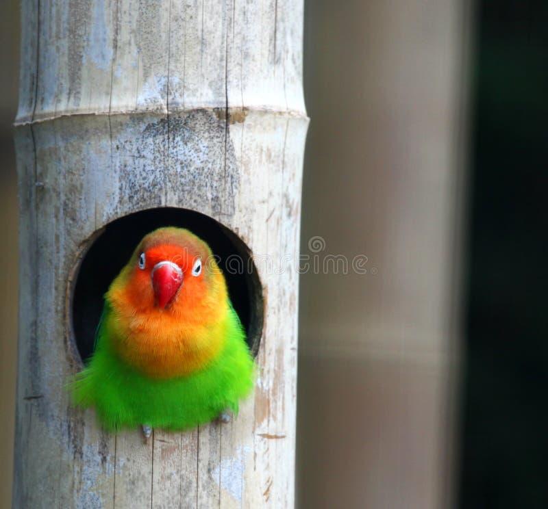Liebesvögel, Agopornis fischeri stockfotografie