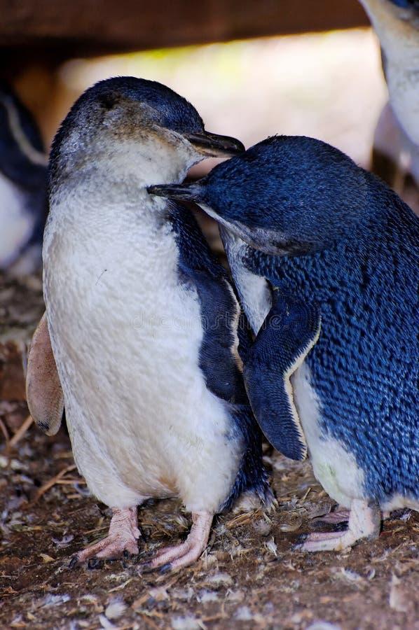 Liebevolle Pinguine auf Phillip-Insel stockbild