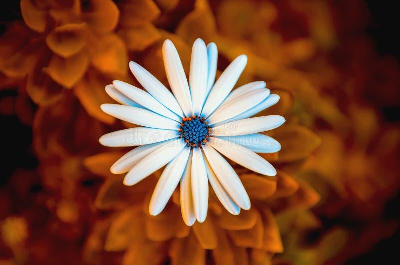 Liebkosungs-Blume, abstraktes Gänseblümchen lizenzfreie stockfotos