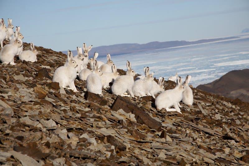 Liebres árticas en una ladera foto de archivo