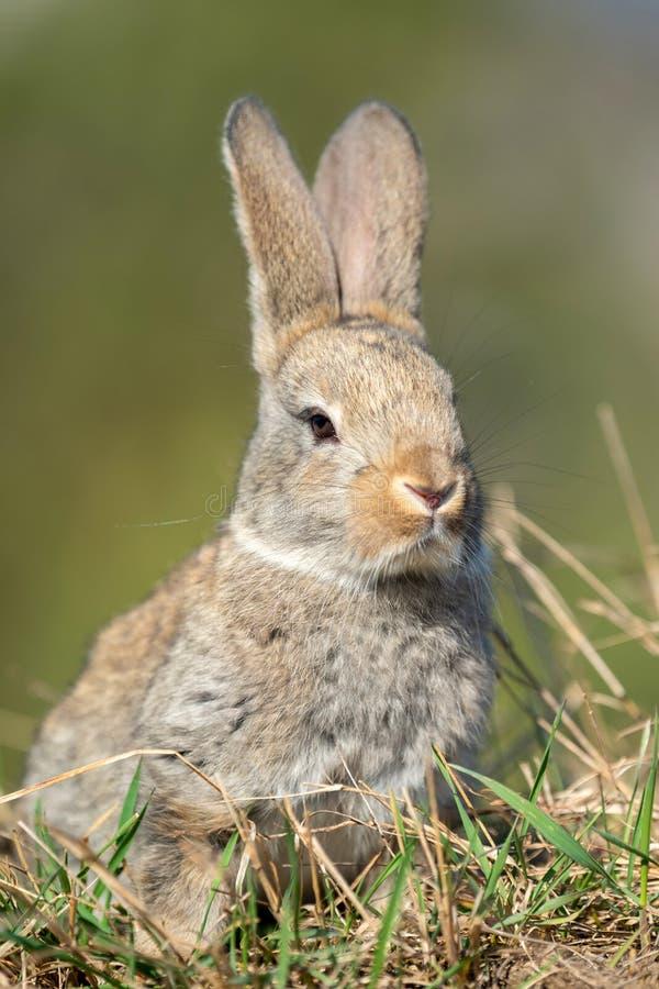 Liebres del conejo mientras que en hierba imágenes de archivo libres de regalías