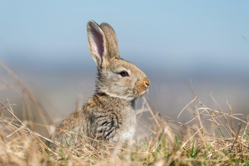 Liebres del conejo mientras que en hierba fotos de archivo