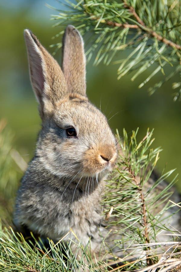 Liebres del conejo mientras que en hierba imagen de archivo libre de regalías