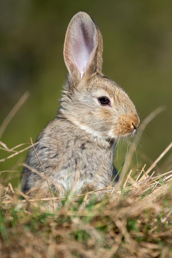 Liebres del conejo mientras que en hierba fotografía de archivo libre de regalías