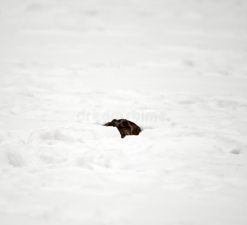 Liebres europeas ocultadas debajo de la nieve imagenes de archivo