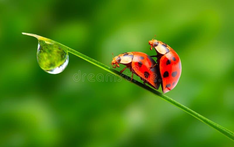 Liefde-makend Lieveheersbeestjespaar. Stock Afbeeldingen