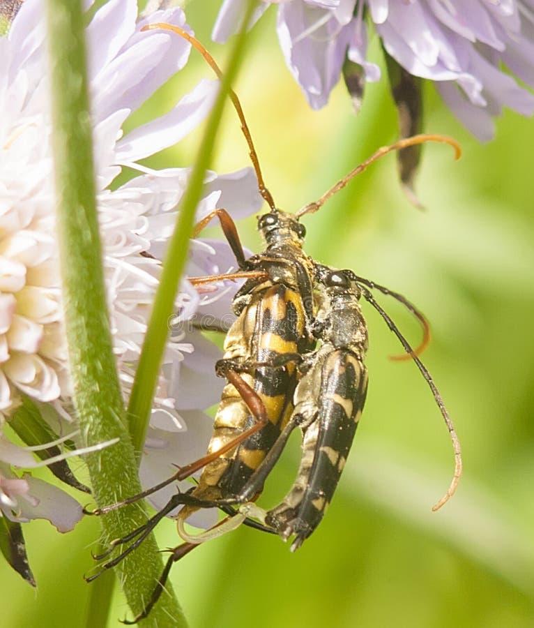 Liefde van bont insecten bij weide lilac bloemen royalty-vrije stock afbeeldingen