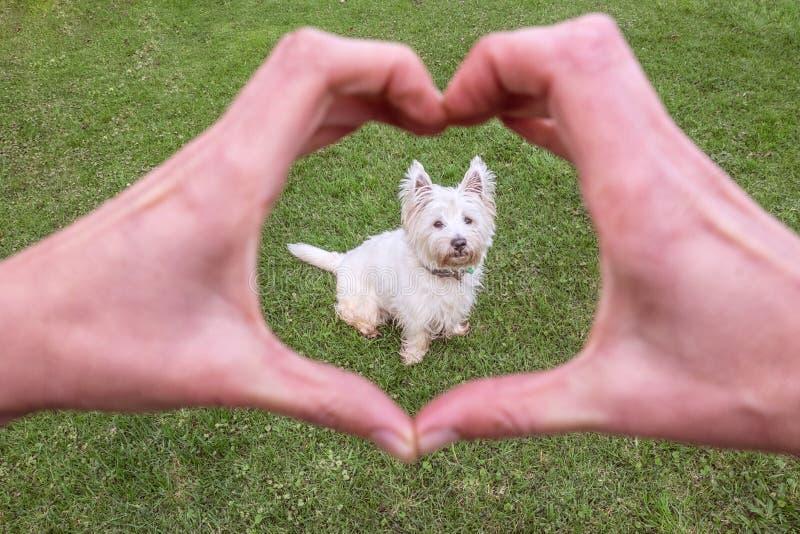 Liefde van een goede hond: handen die hartvorm maken rond het leuke westen hallo stock foto's