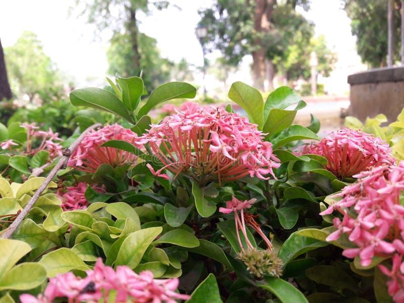 liefde van geur de roze bloemen royalty-vrije stock afbeeldingen