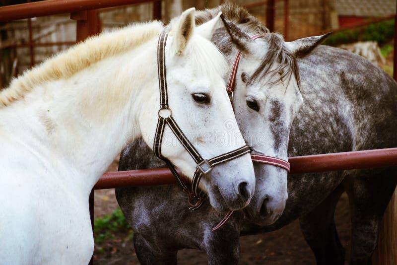 Liefde van twee paarden royalty-vrije stock fotografie