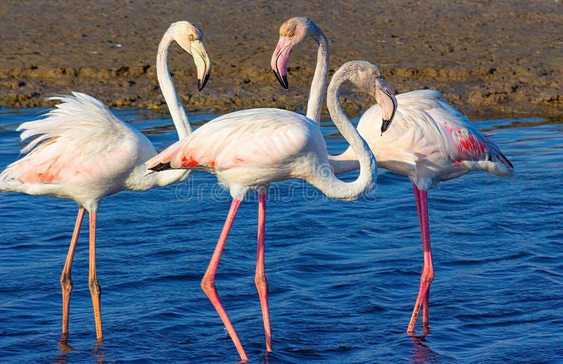 Liefdedriehoek van roze flamingo's in de overzeese lagune stock foto