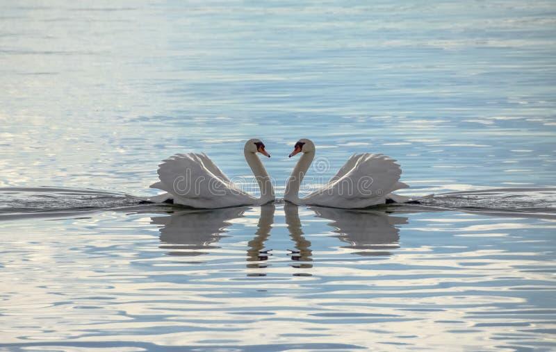 Liefdezwanen - Zwanen die een Hart maken royalty-vrije stock foto
