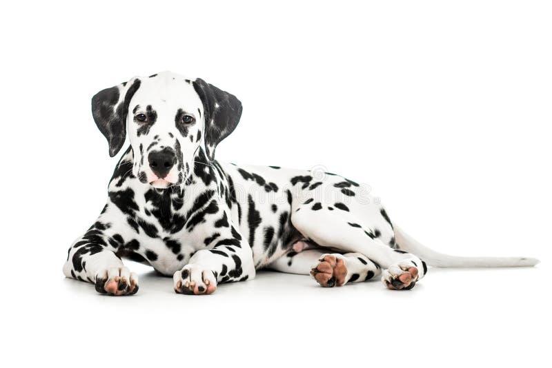 liegender dalmatinischer hund lokalisiert stockfoto  bild