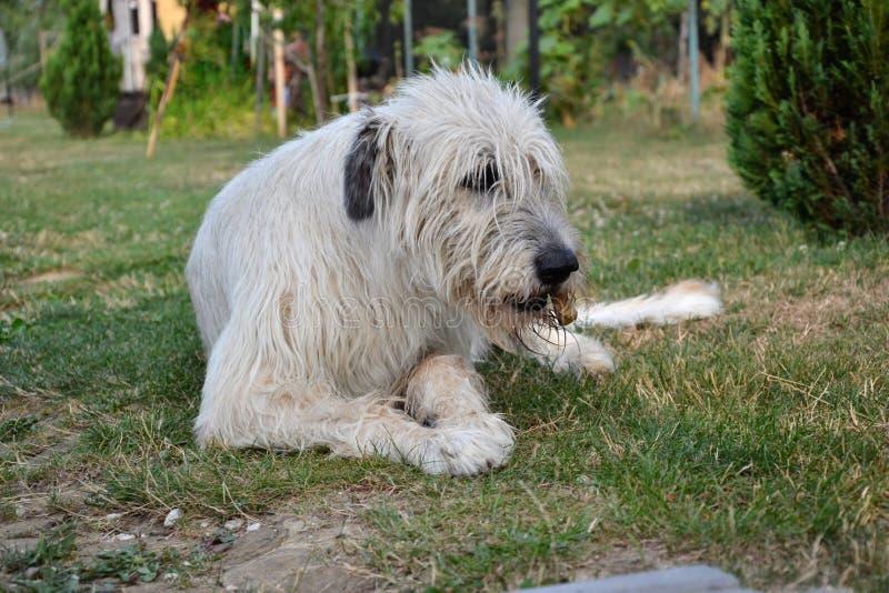 liegender hund des irischen wolfshunds isst knochen auf