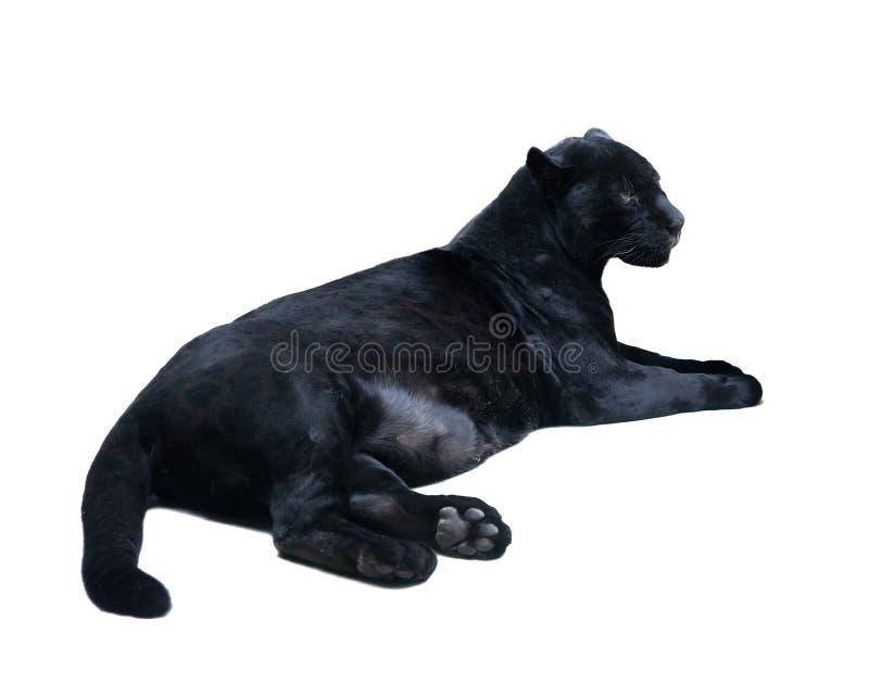 Liegender schwarzer Panthera. Getrennt über Weiß lizenzfreie stockbilder