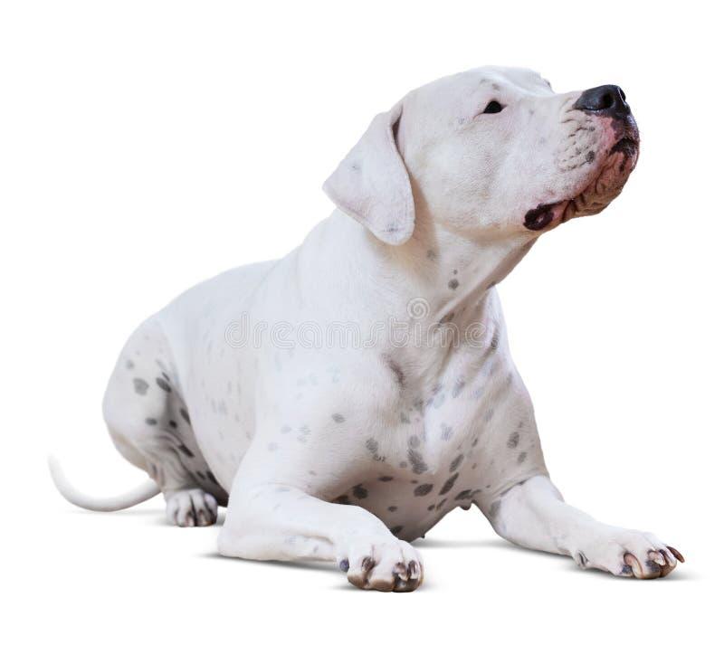 Liegendes erwachsenes Dogo Argentino Lokalisiert auf Weiß stockfotos