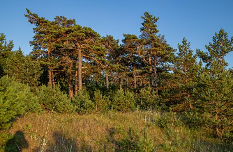 Liepaja beach with pines Latvia. Baltic sea coast near Liepaja, Latvia. Sand dunes with pine trees. Classical Baltic beach landscape. Wild nature Karosta royalty free stock images