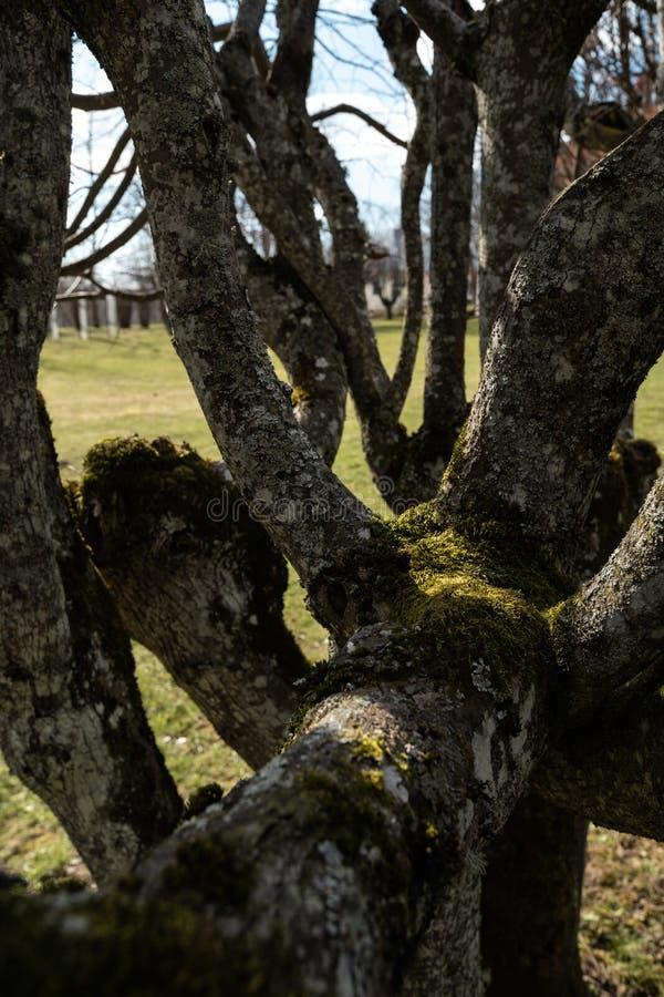 LIEPUPE, LETONIA - 13 DE ABRIL DE 2019: Árbol viejo con el musgo - señorío de Liepupes Muiza en tiempo soleado hermoso de la p fotografía de archivo libre de regalías