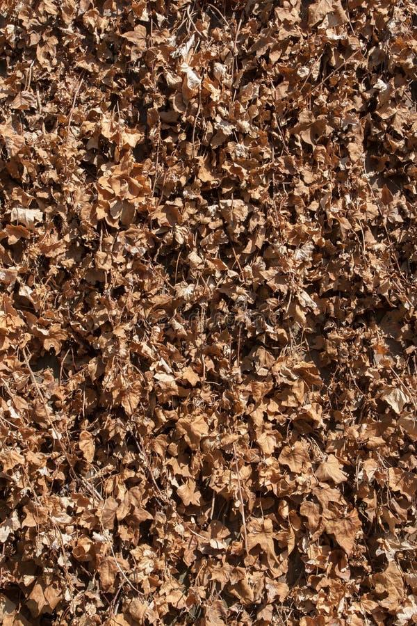 Download Lierre 20 image stock. Image du fond, brun, texture, mort - 77157811