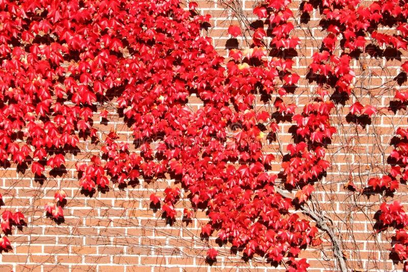 Lierre d'automne photo stock