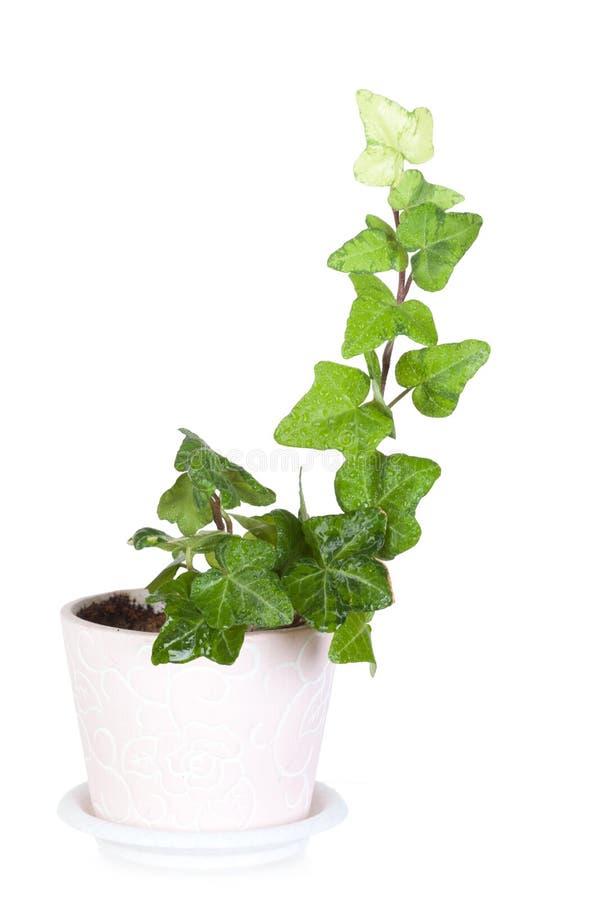 lierre dans un pot en c ramique rose photo stock image 40134497. Black Bedroom Furniture Sets. Home Design Ideas