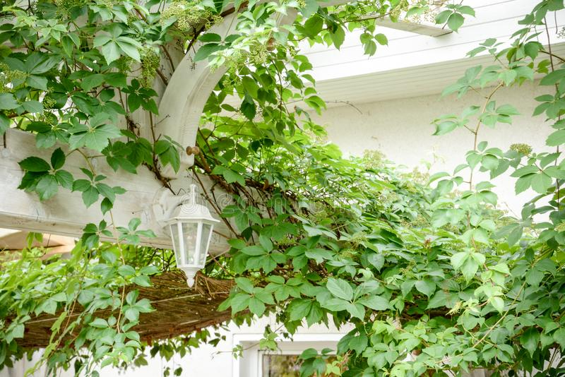 Lierre de Boston de Vitaceae de famille de raisin de tricuspidata de Parthenocissus, lierre de raisin, chèvrefeuille images libres de droits