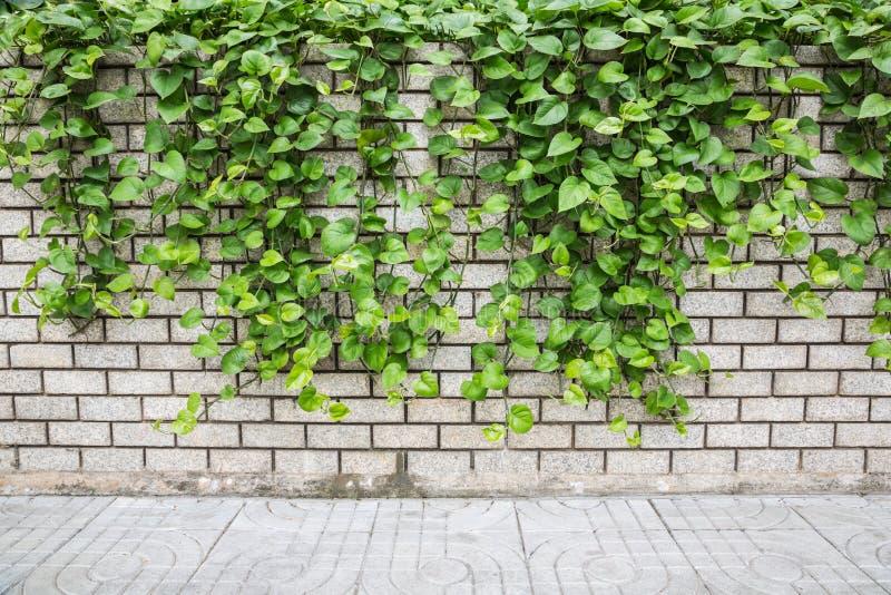Lierre de Pothos sur le mur image libre de droits