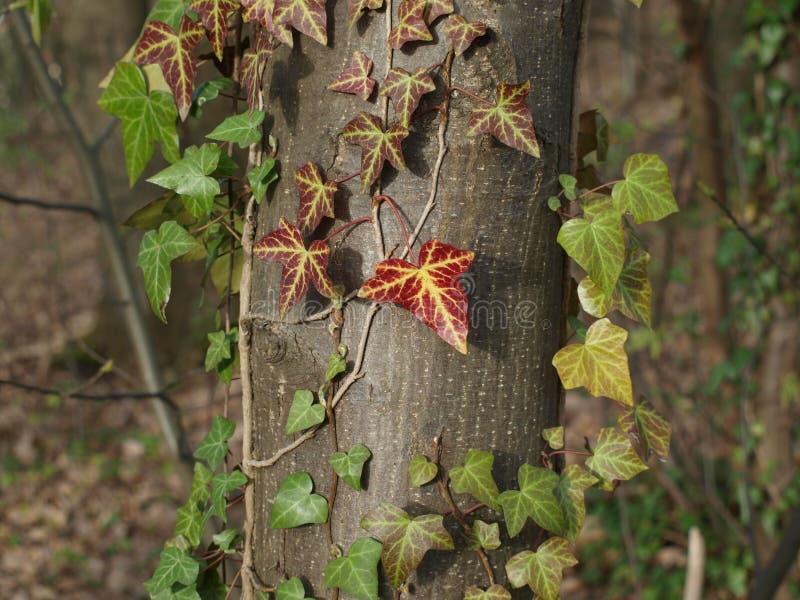 Lierre de printemps rouge dans une forêt foncée photographie stock