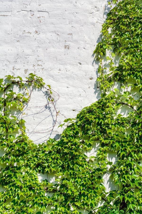 Lierre de raisin photo libre de droits