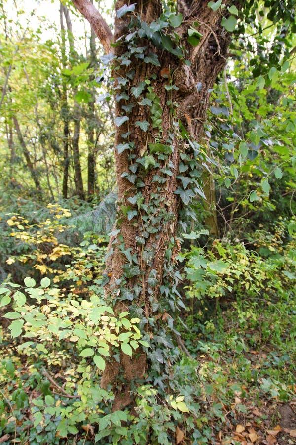 Lierre - hélice de Hedera - s'élevant sur l'arbre au jardin botanique images stock