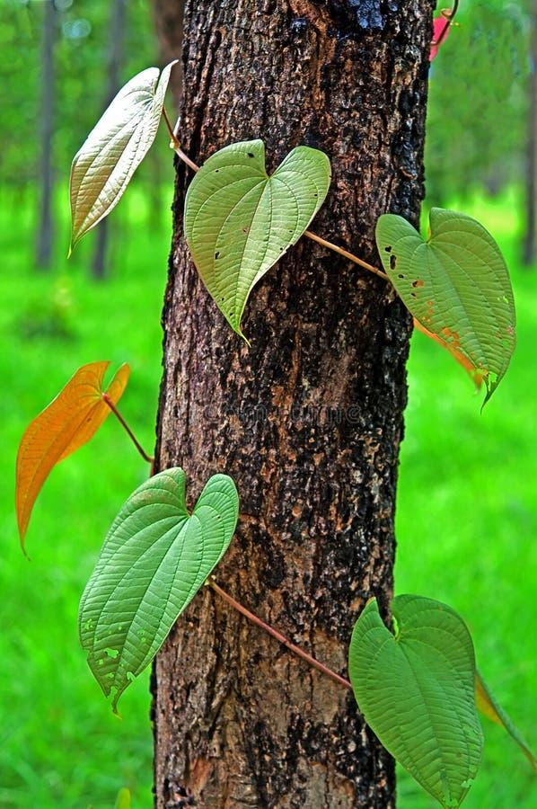 Lierre ou mauvaise herbe sur l'arbre image stock
