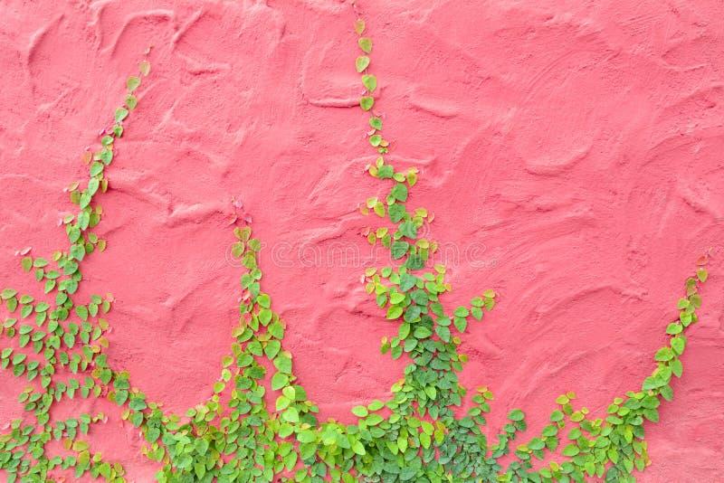 Lierre ou usine s'élevante sur le mur en béton rose coloré photos stock