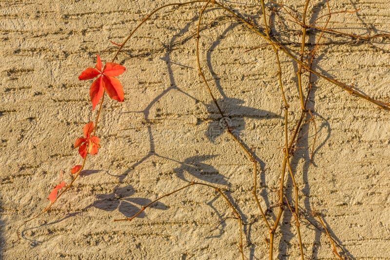 Lierre pendant l'automne photo stock