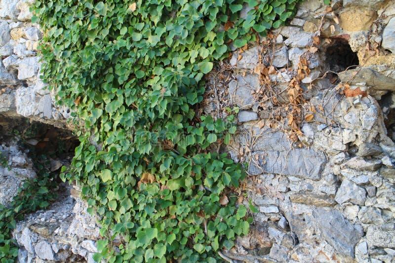 Lierre sur des murs de château de Beckov photo libre de droits
