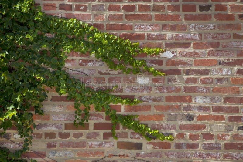 Lierre sur un mur de briques photo libre de droits