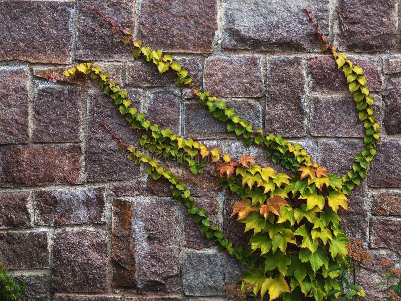 Lierre sur un mur en pierre images libres de droits