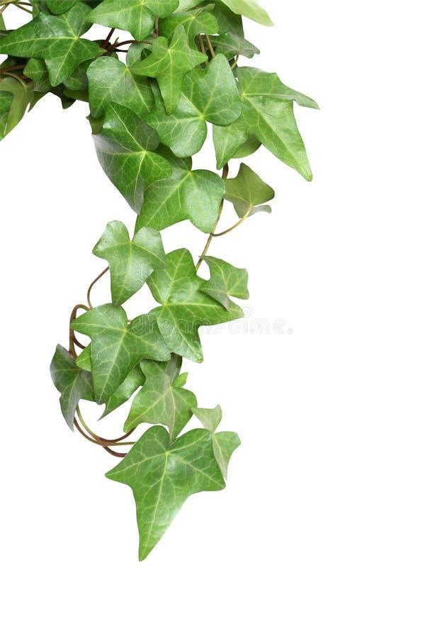 Lierre vert photos stock
