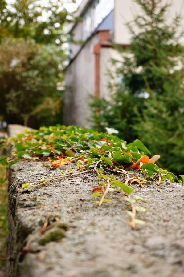Download Lierre vert photo stock. Image du nature, pierre, lierre - 45350876